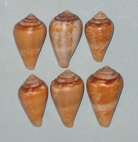 Conus (Lautoconus) cacao Ferrario in Angeletti and Ferrario, 1983 Conus-10