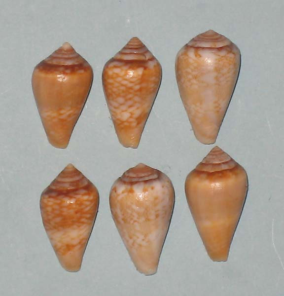 Conus (Lautoconus) cacao Ferrario in Angeletti and Ferrario, 1983 Conus-11