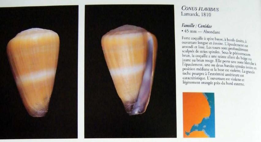 nouvelle identification = conus flavidus Conus_10