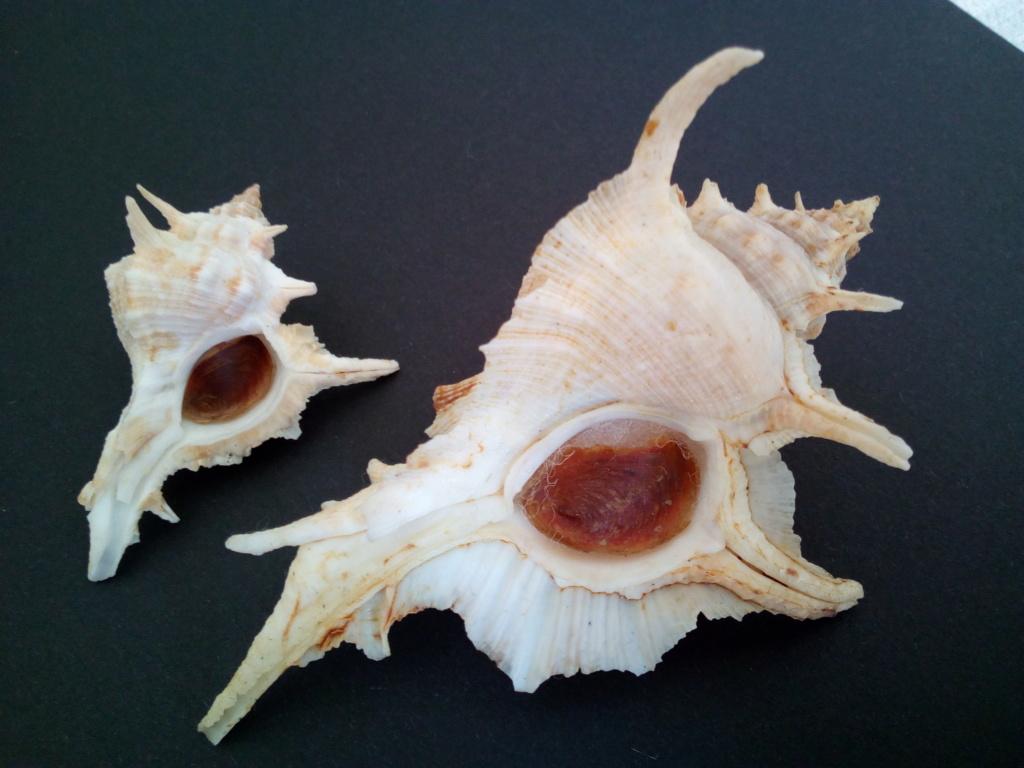 Siratus tenuivaricosus - (Dautzenberg, 1927) Img_2079