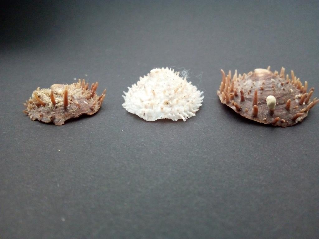 Crucibulum spinosum - (G. B. Sowerby I, 1824) Img_2123