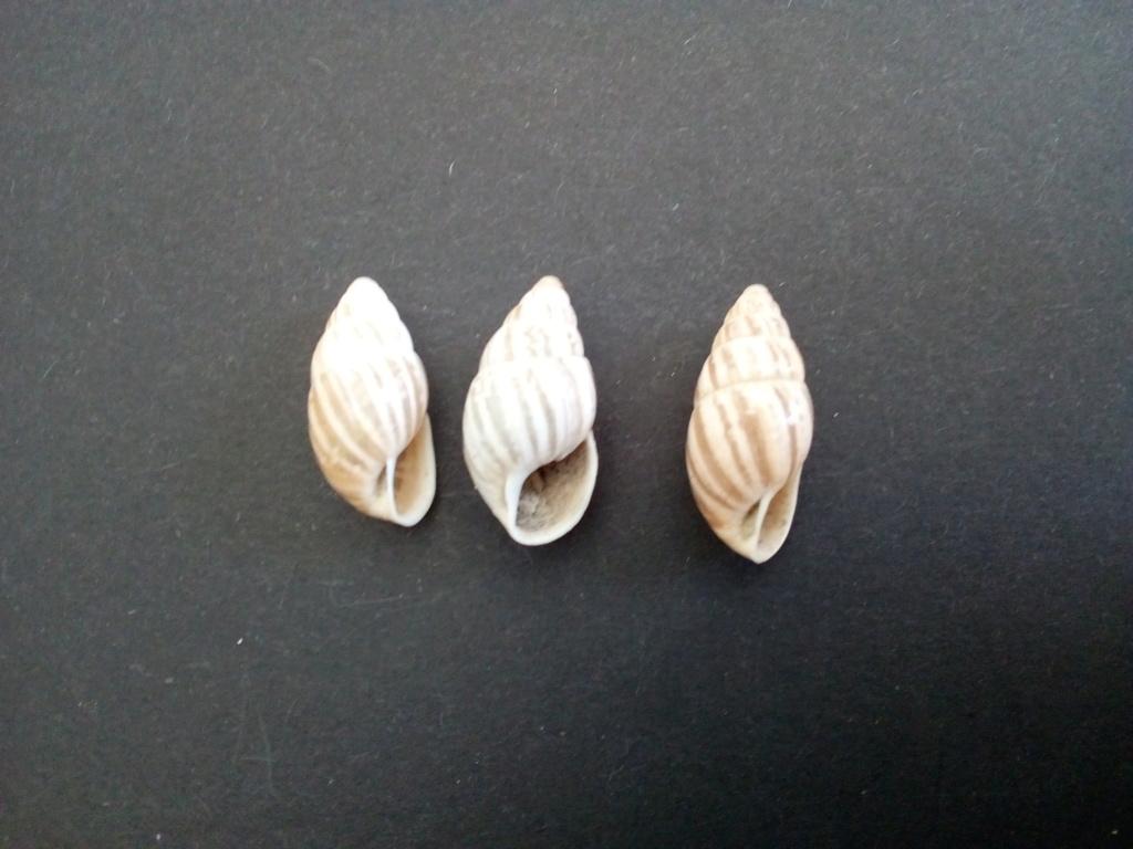 Zebrina detrita (Müller, 1774) Img_2150