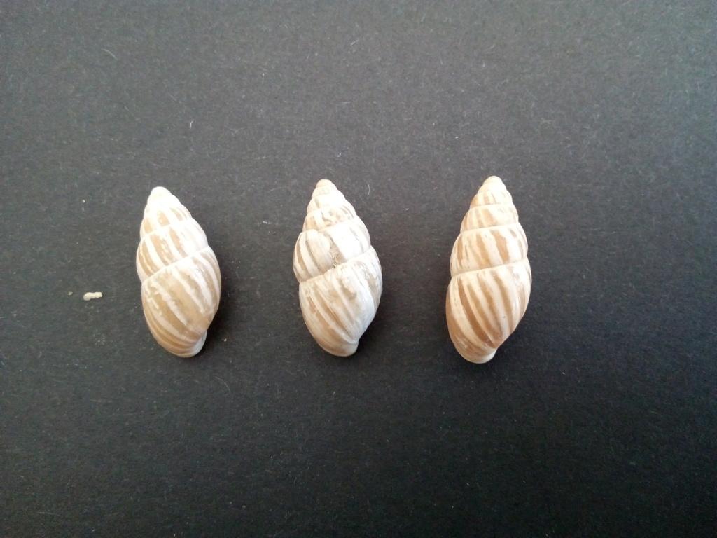 Zebrina detrita (Müller, 1774) Img_2151