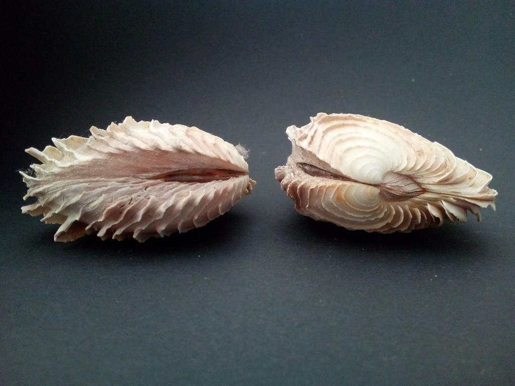 Circomphalus foliaceolamellosus - (Dillwyn, 1817)  Img_2182