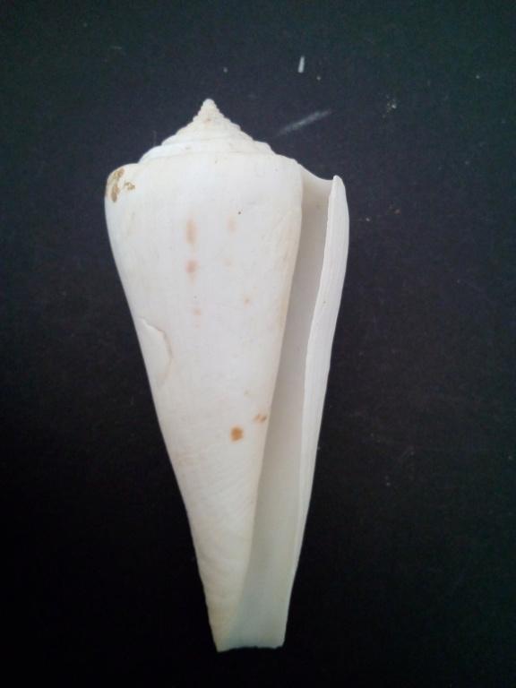 Conasprella (Endemoconus) sieboldii (Reeve, 1848)  Img_2185
