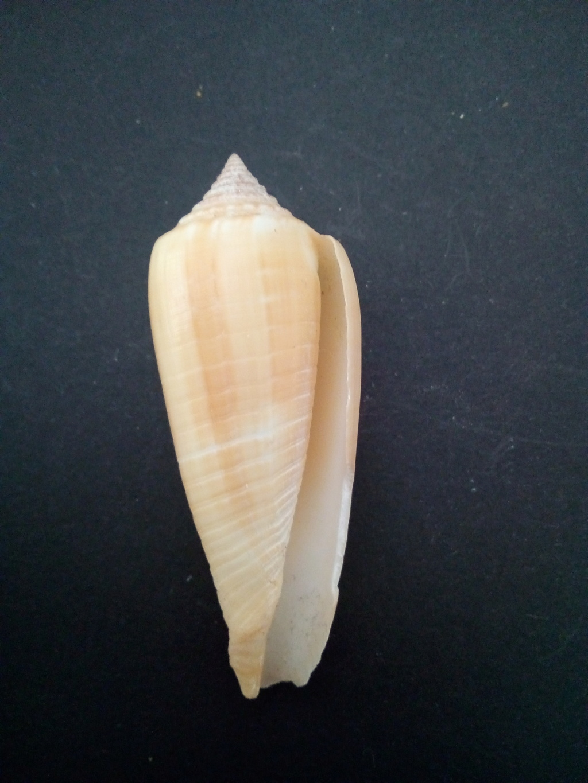 Conus (Phasmoconus) ochroleucus   Gmelin, 1791 Img_2188