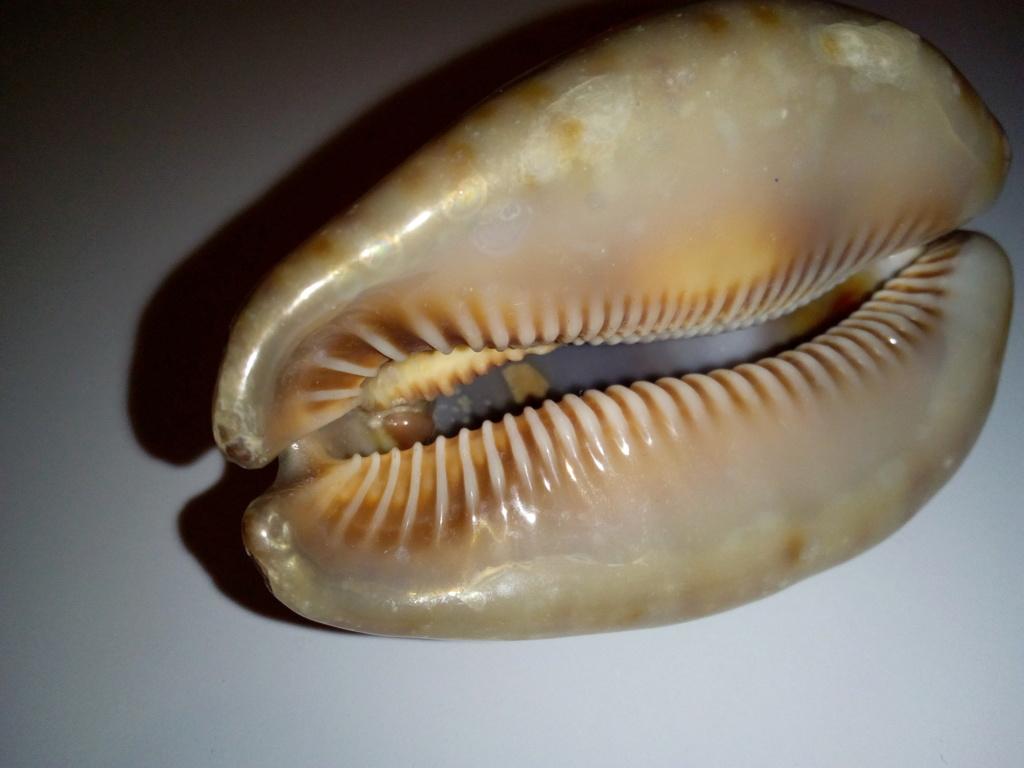Trona stercoraria stercoraria - (Linnaeus, 1758) - perle intérieure Img_2198
