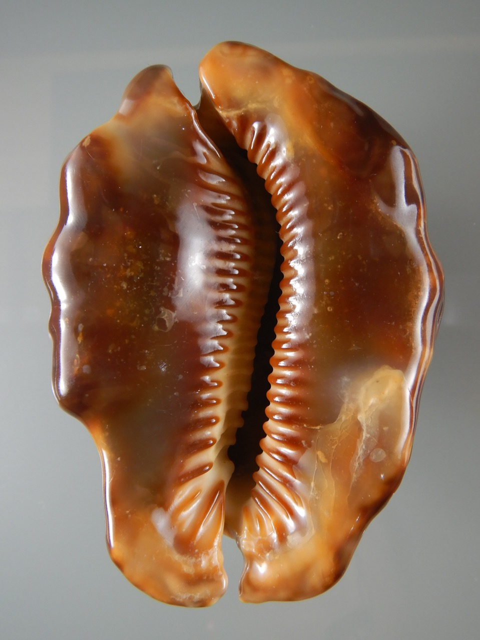 Mauritia mauritiana - (Linnaeus, 1758) - gerontic Maurit16