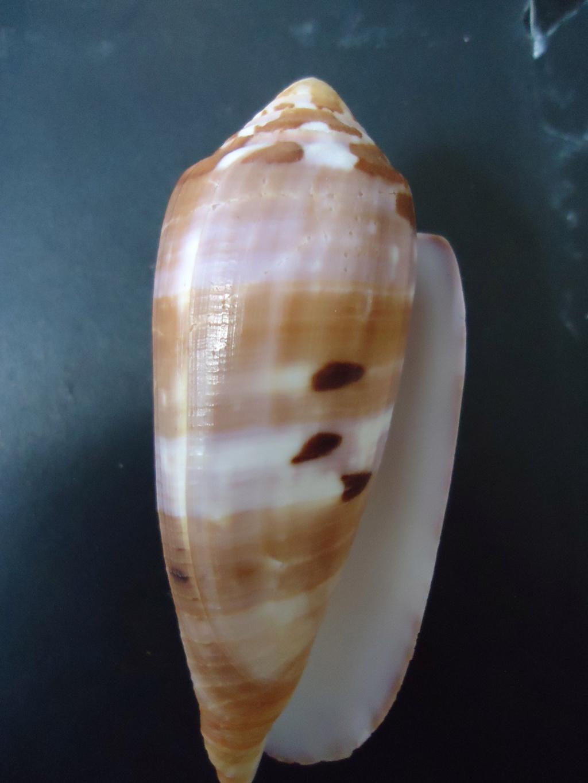 Conus_circumcisus 00512