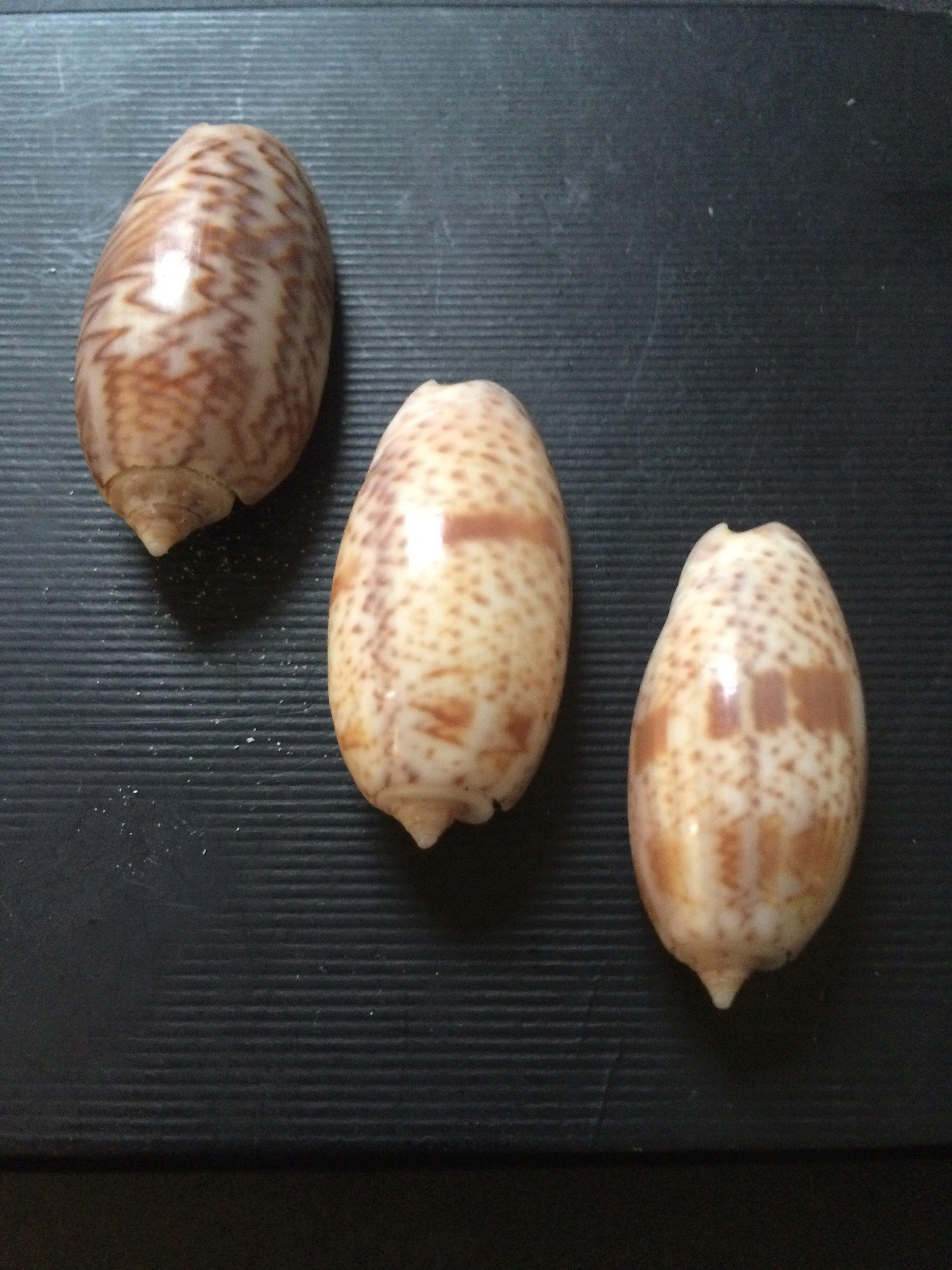 Oliva (carmione) bulbosa (Roding, 1798) ????? 01010