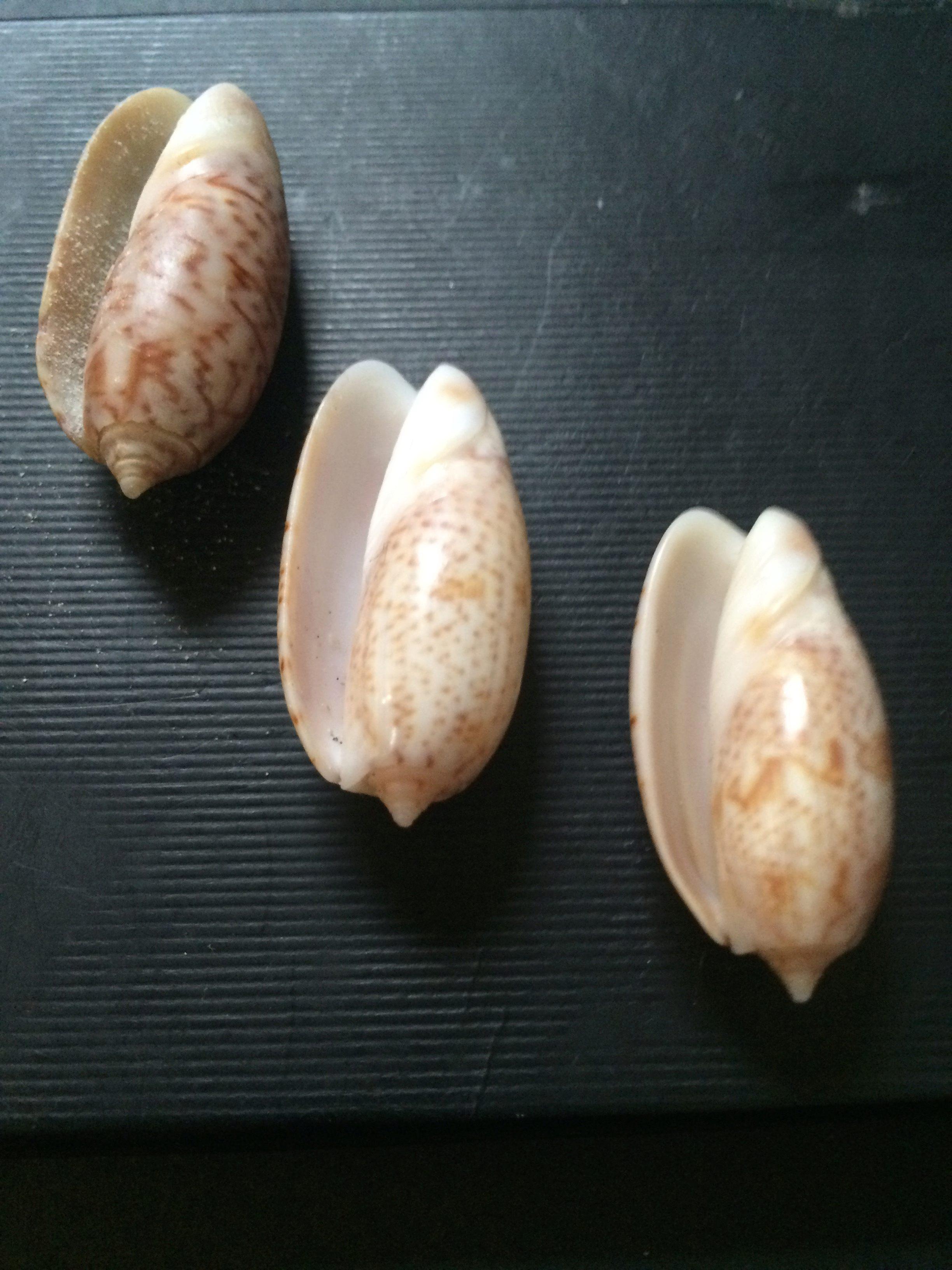 Oliva (carmione) bulbosa (Roding, 1798) ????? 01210