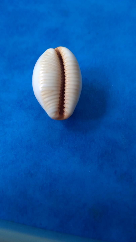 Staphylaea_staphylaea_nolani_Lorenz, 1989 20210381