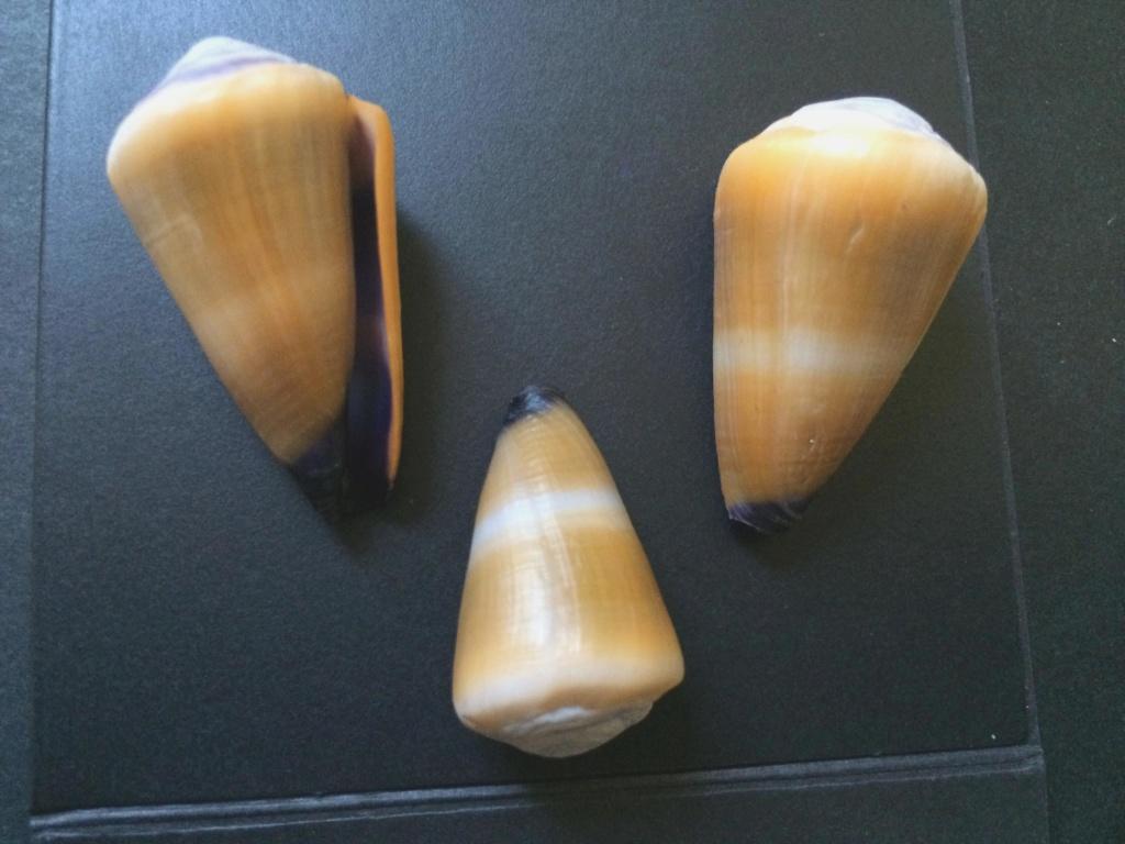 nouvelle identification = conus flavidus Cones_13