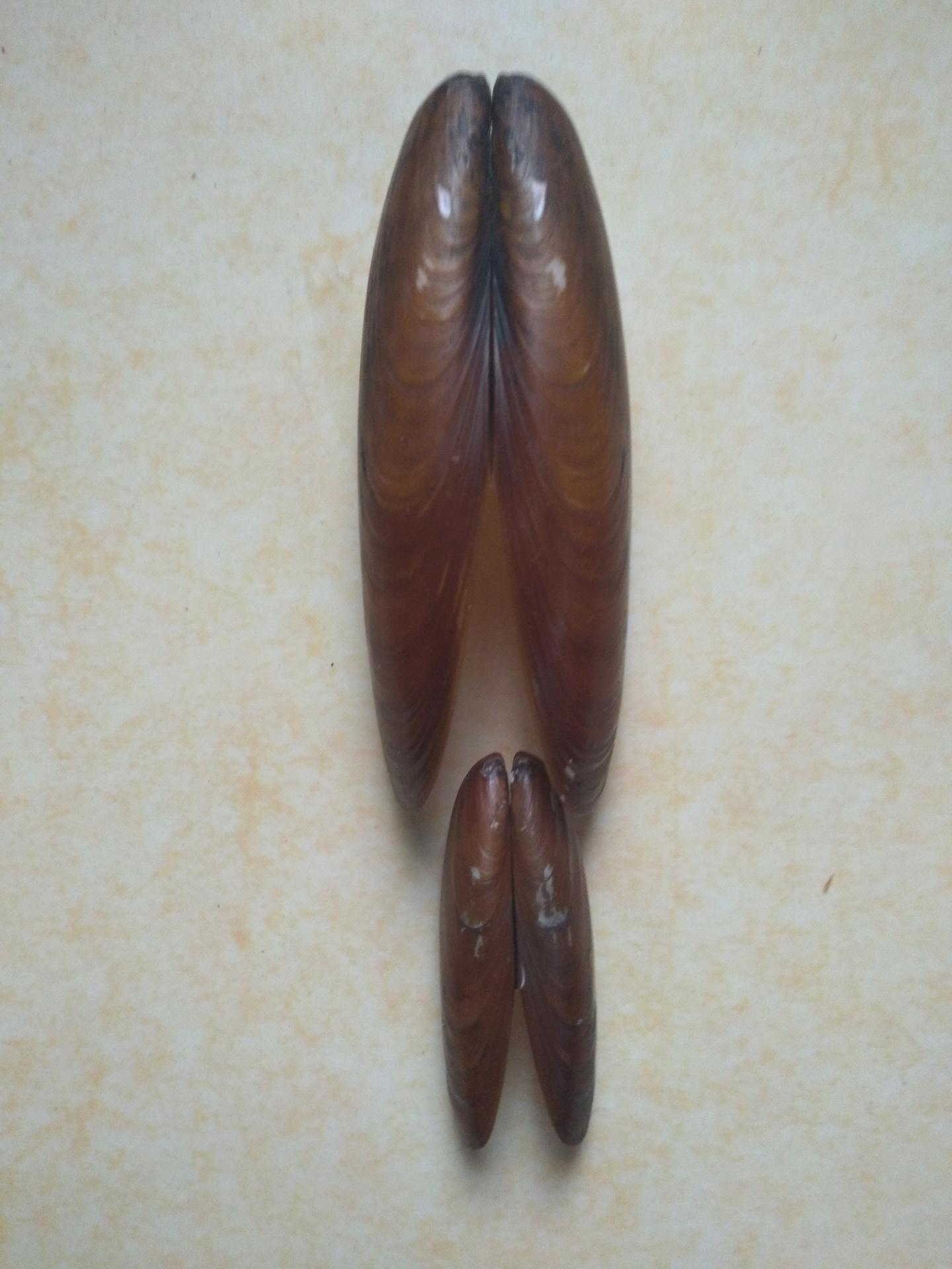 Lithophaga_lithophaga (Linnaeus, 1758) Fjimg_30