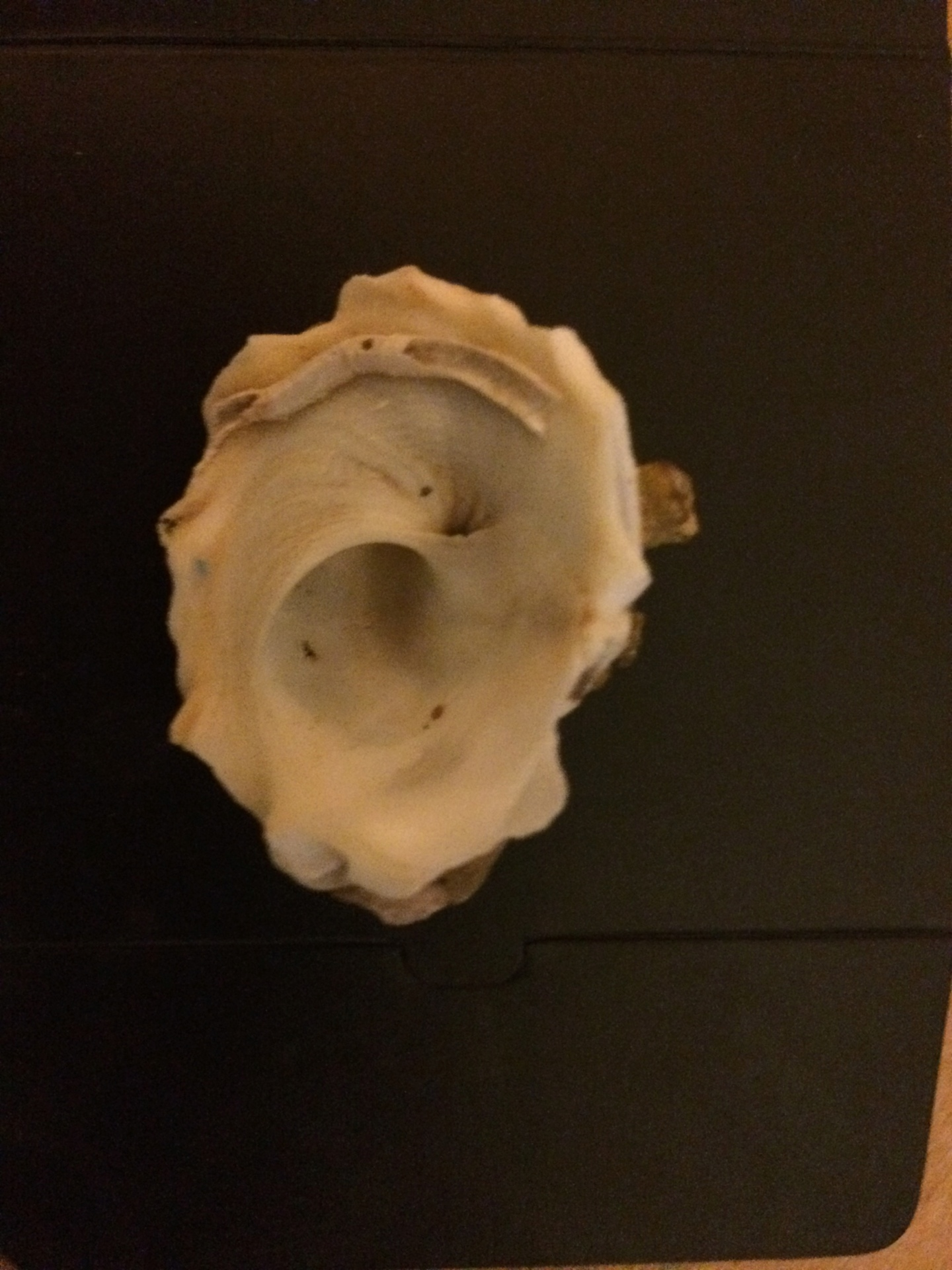 Xenophora crispa - (König, 1825)  Img_0714