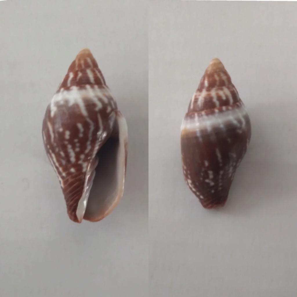 Strigatella scutulata - (Gmelin, 1791)  Instas11