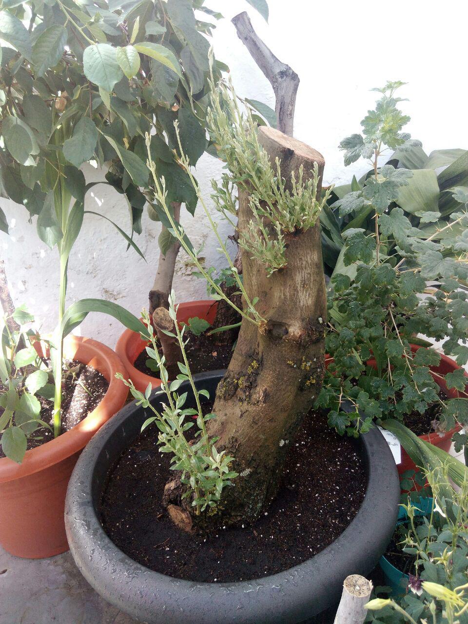 el olivito Brotes10