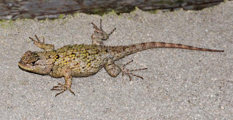 Projet pour mes futurs reptiles : Sceloporus Malachiticus 70691010