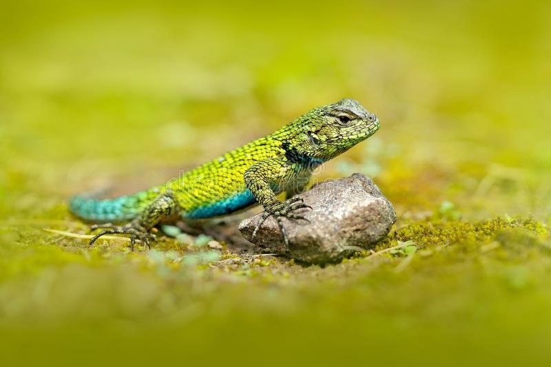 Projet pour mes futurs reptiles : Sceloporus Malachiticus Emeral10