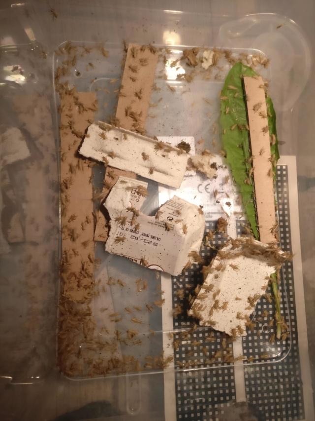 Mon petit élevage de grillons domestiques Img_2012
