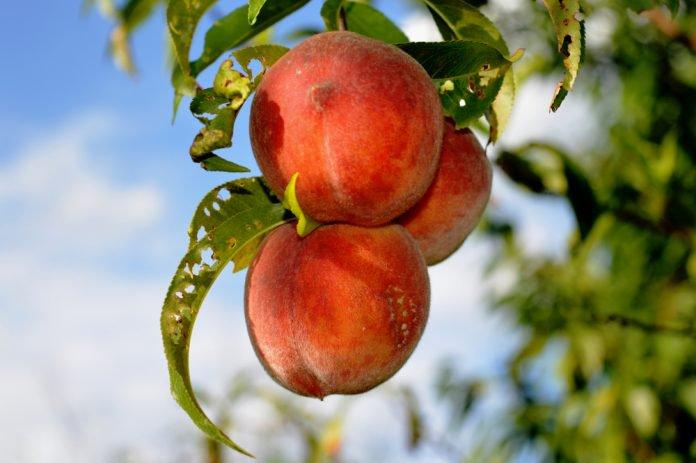 Contre les parasites, l'agriculture biologique serait plus efficace que les pesticides Pestic11