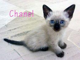 CHANEL - CROISÉE SIAMOIS - (SOLE) 41263711