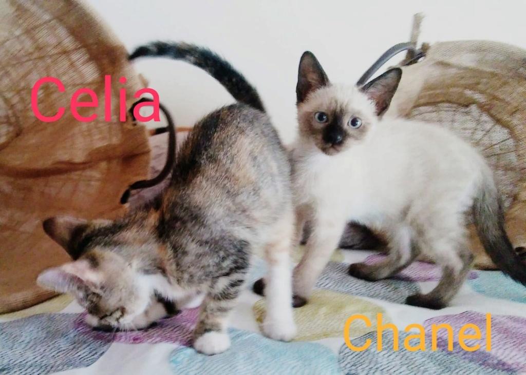 CHANEL - CROISÉE SIAMOIS - (SOLE) 41438810