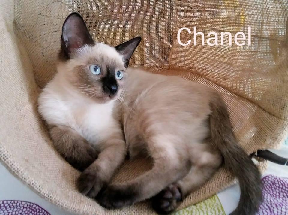 CHANEL - CROISÉE SIAMOIS - (SOLE) 41462110
