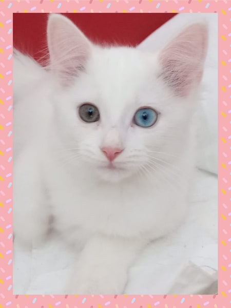Perle - Blanche Yeux vairons - (ANGELA) 76644610