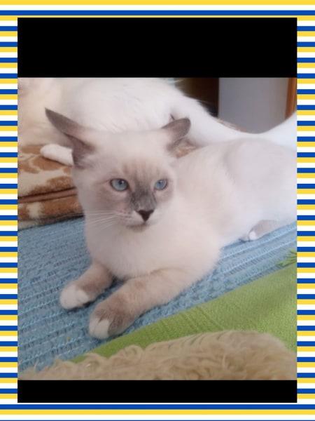 NIL BLUE - X SIAMOIS - (Angela) 77147610