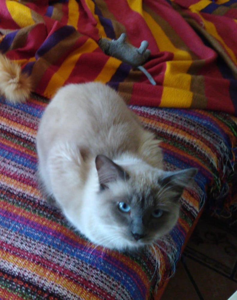 PRINCE - Siamois Blue Point - (Angela) 8e804711
