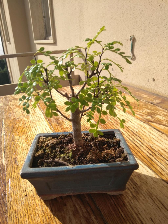 Il mio primo bonsai (pepe?) Img_2013
