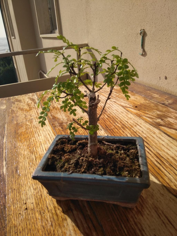 Il mio primo bonsai (pepe?) Img_2014