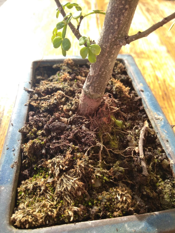 Il mio primo bonsai (pepe?) Img_2015