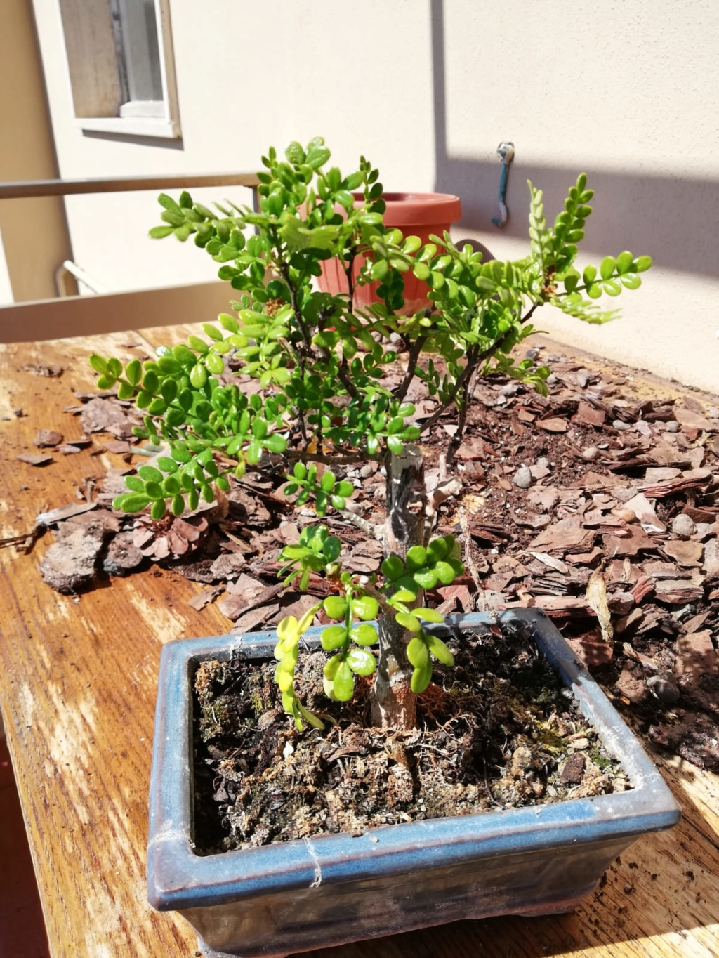 Il mio primo bonsai (pepe?) Whatsa11