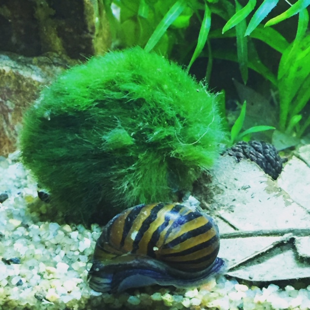 Mon aquarium asiatique  9d7d4410