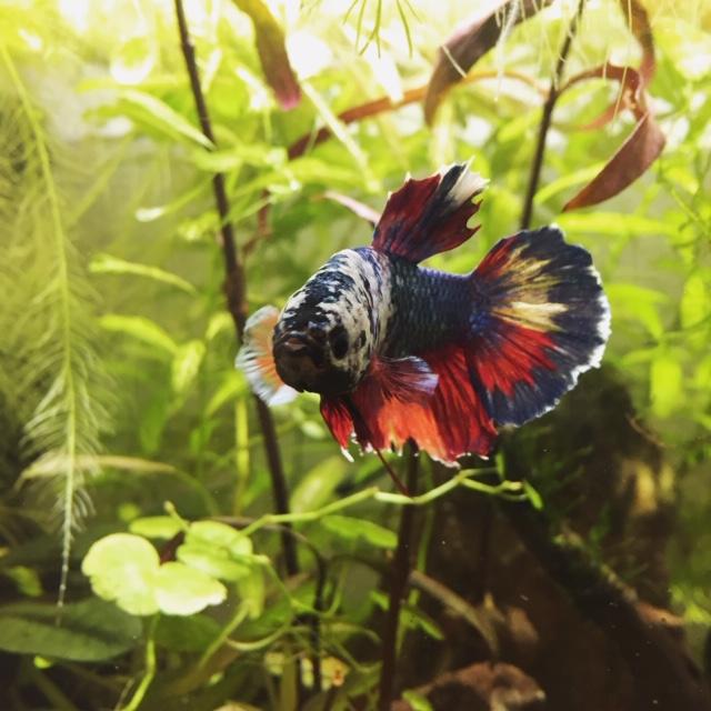 Mon aquarium asiatique  A7d12110