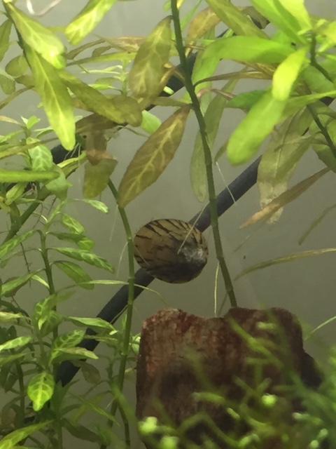 Mon aquarium asiatique  Image115