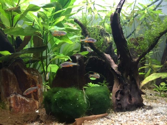Mon aquarium asiatique  Image312