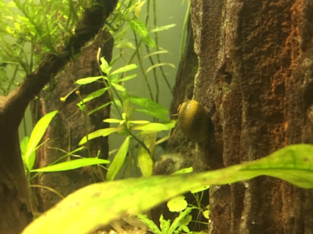 Mon aquarium asiatique  Image410