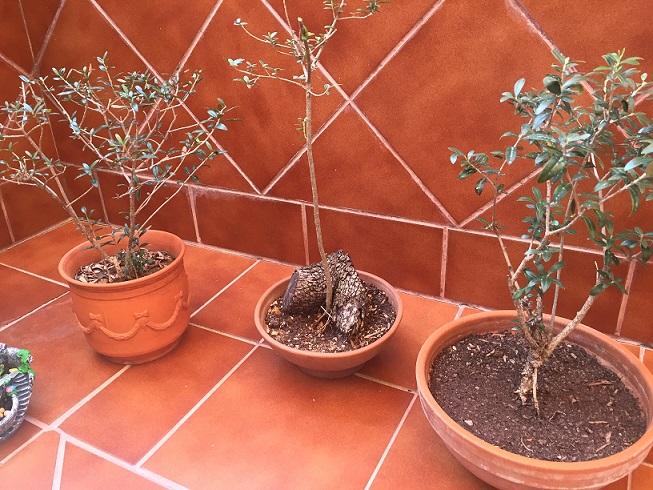 Mis proyectos de bonsais Img_0111
