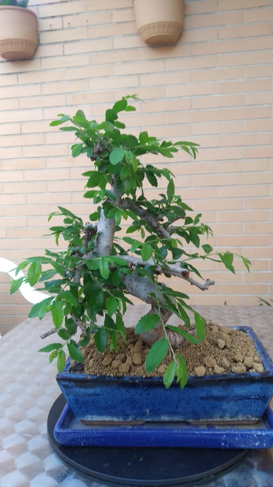 Recuperación Olmo Chino, hojas muy grandes 4397be11