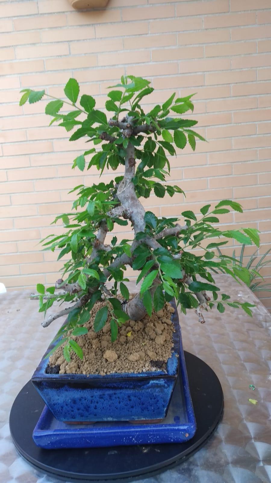 Recuperación Olmo Chino, hojas muy grandes 7c929011