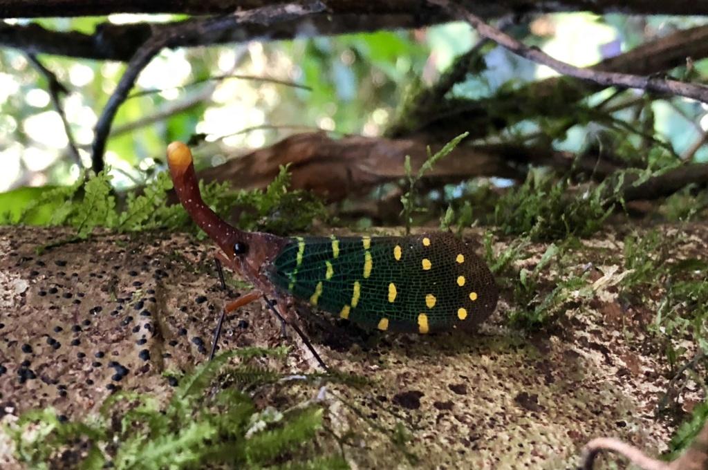 Est ce un papillon? [Homoptera Fulgoridae] 91724910