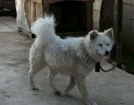 My Boy Schippo is he a pure Husky poll? Img_0415
