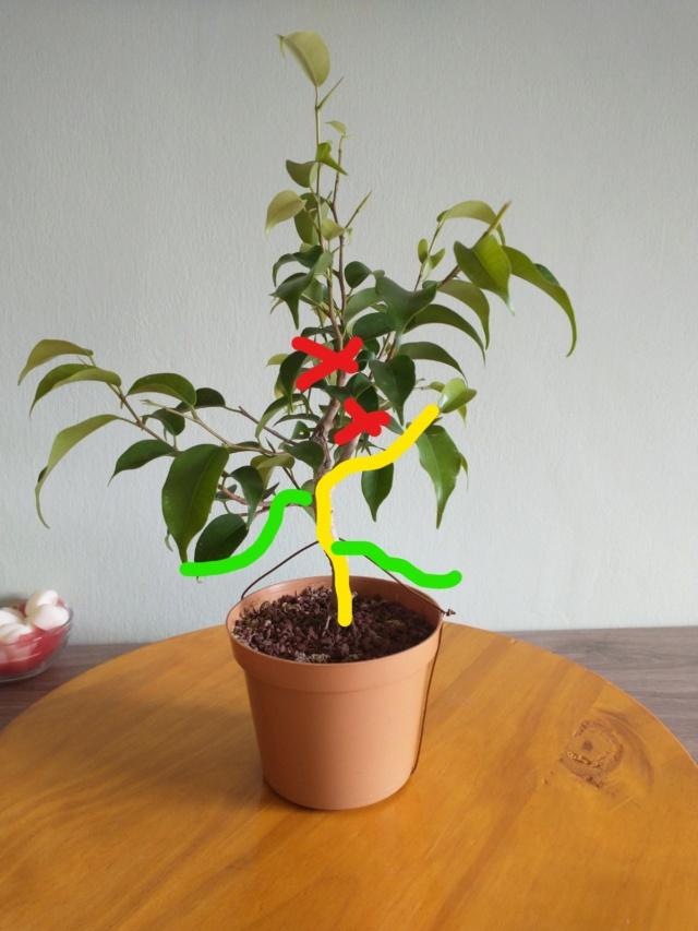 Cultivando y Diseñando Ficus Natasja Ficus110