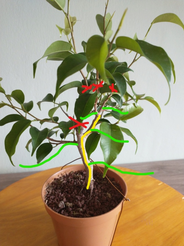 Cultivando y Diseñando Ficus Natasja Ficus111