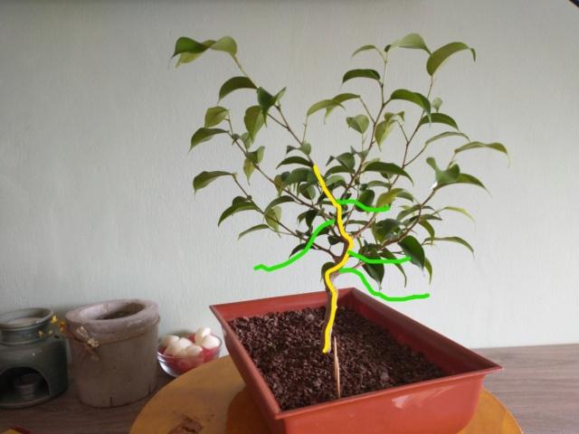 Cultivando y Diseñando Ficus Natasja Ficus210