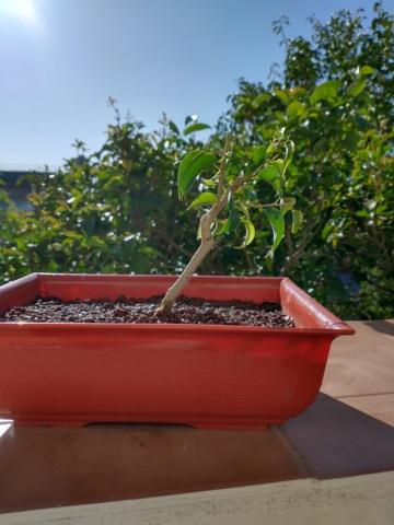 Cultivando y Diseñando Ficus Natasja Ficus_10
