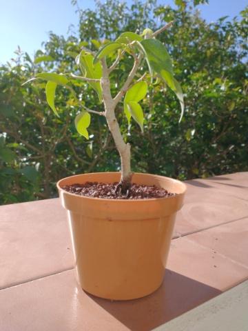 Cultivando y Diseñando Ficus Natasja Ficus_11